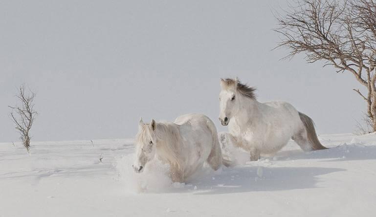 Ngựa Bạch Mông Cổ vị vua trong các loài ngựa.