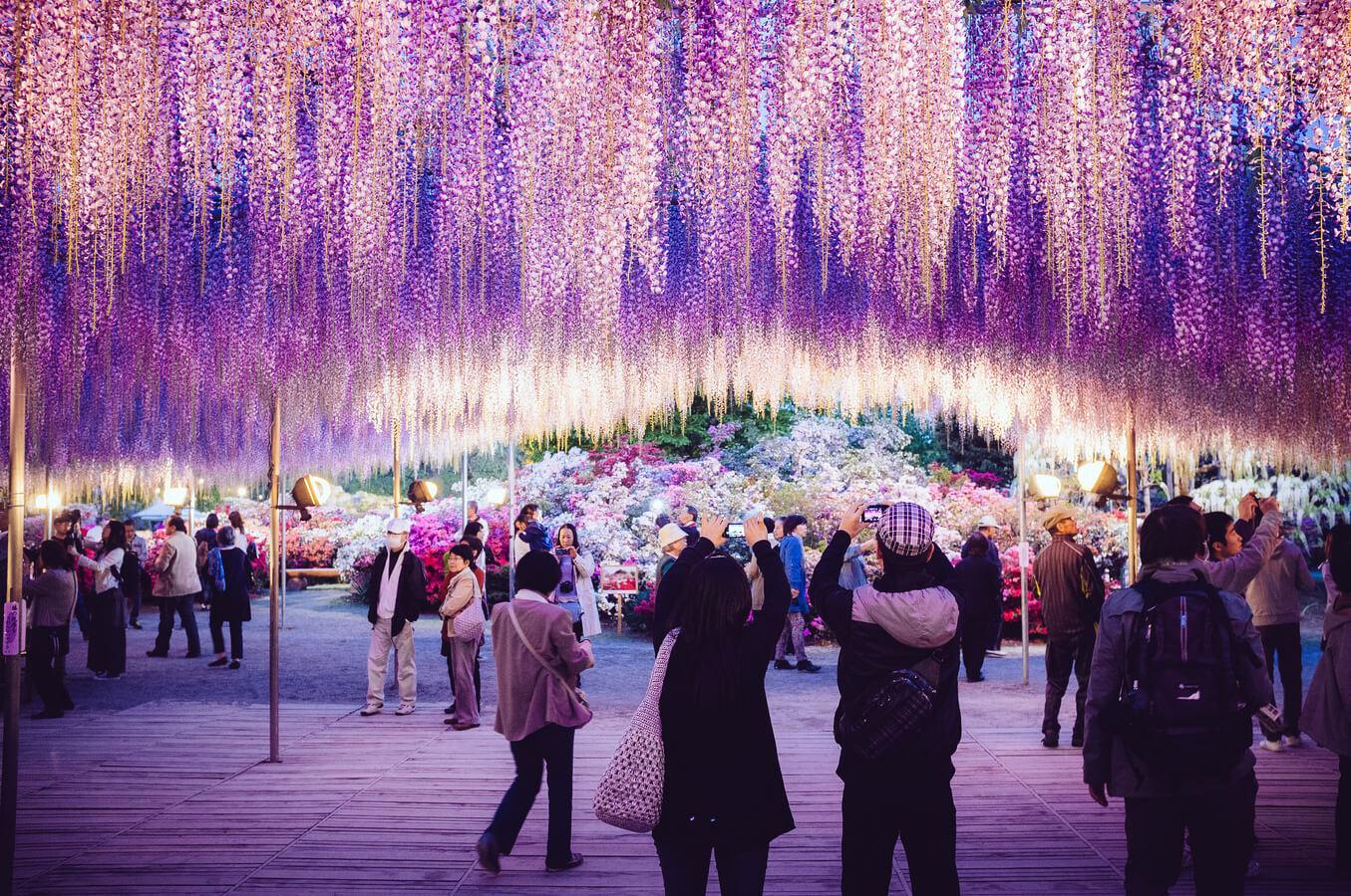 Hoa Tử Đằng đẹp lung linh ở Công viên Ashikaga