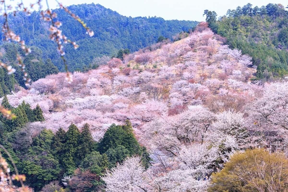 Núi Yoshino phủ một sắc hồng rực rỡ vào tháng 4